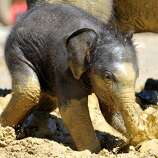 A three-week-old baby elephant plays in the mud in its compound at the zoo in Munich, southern Germany, on May 30, 2011. The baby elephant was born on last May 6, 2011.  AFP PHOTO / FRANK LEONHARDT     GERMANY OUT (Photo credit should read FRANK LEONHARDT/AFP/Getty Images)