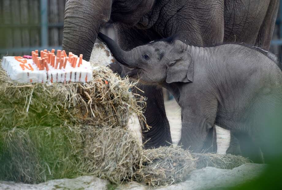 A 100-day-old baby elephant walks with its French mother Angele to celebrate its first100 days by a gigant rice, carrots and beetroot cake at Budapest Zoo and Botanic Garden on May 24, 2013 during a special birth-day ceremony.  AFP PHOTO / ATTILA KISBENEDEKATTILA KISBENEDEK/AFP/Getty Images Photo: ATTILA KISBENEDEK, AFP/Getty Images