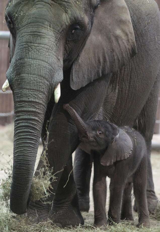 Baby elephant Uli stands close to his mother Sabie in the elephant enclosure at the Zoo in Wuppertal, Germany, Tuesday, Jan. 18, 2011.  Uli, an African elephant, was born on Sunday night weighing nearly 100 kilos (220 pounds). (AP Photo/Frank Augstein) Photo: Frank Augstein, AP