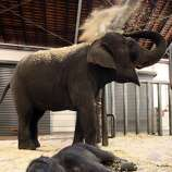 SYDNEY, AUSTRALIA - MARCH 11: Taronga Zoo's latest elephant baby, as yet unnamed, stays close to his mother Porntip after spending his first night at Taronga Zoo on March 11, 2010 in Sydney, Australia. The Asian Elephant calf has reportedly made progress overnight following a protracted labour that spanned six days. The calf was originally believed to have died in the womb during labour but surprised veterinarians and zoo staff with an unexpected delivery early yesterday morning. (Bobby-Jo Vial/Taronga Zoo via Getty Images)