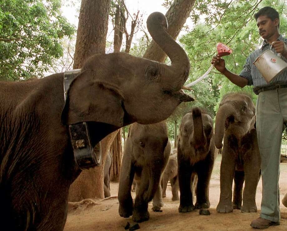 A wildlife worker feeds milk to a group of baby elephants just before returning them to the jungles at a wildlife sanctuary, in Udawalawe, Sri Lanka, about 125 kilometers (78 miles) south of Colombo on Saturday, July 1, 2000. Five baby elephants were returned as part of a program to send wounded baby elephants back to the jungles after nursing them to health rather than domesticating them. (AP Photo/Str) Photo: AP