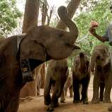 A wildlife worker feeds milk to a group of baby elephants just before returning them to the jungles at a wildlife sanctuary, in Udawalawe, Sri Lanka, about 125 kilometers (78 miles) south of Colombo on Saturday, July 1, 2000. Five baby elephants were returned as part of a program to send wounded baby elephants back to the jungles after nursing them to health rather than domesticating them. (AP Photo/Str)