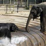 "Kandula (L), a 4-year-old baby Sri Lankan elephant, holds his mother Shanthi's trunk during the annual post-Halloween ""Pumpkin Stomp"" for the elephants that live at the National Zoo in Washington, November 8, 2005. The annual event makes use of surplus pumpkins used as Halloween decorations, giving the elephants something new and fun to both play with and eat and draws large crowds of visitors to the zoo.  REUTERS/Jim Bourg"
