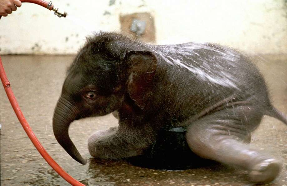A one-month-old elephant, yet to be named gets his daily bath , Tuesday morning, April 14, 1998, at the Cincinnati Zoo. animal handler Cecil Jackson was hosing down the baby, born on March 15,  1998. The zoo is running a contest for the baby's name. (AP Photo/Mark Lyons) Photo: MARK LYONS, AP
