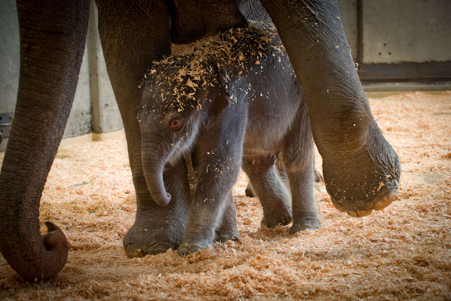 This Friday Nov. 30, 2012 photo provided by the Oregon Zoo shows a newborn female Asian elephant calf in the elephant maternity ward with her mother Rose-Tu at the Oregon Zoo in Portland, Ore. The Oregon Zoo says Rose-Tu gave birth to the 300-pound female calf at 2:17 a.m. Friday, and the youngster is healthy, vigorous and loud. (AP Photo/Oregon Zoo, Michael Durham) Photo: Michael Durham, Associated Press / Oregon Zoo