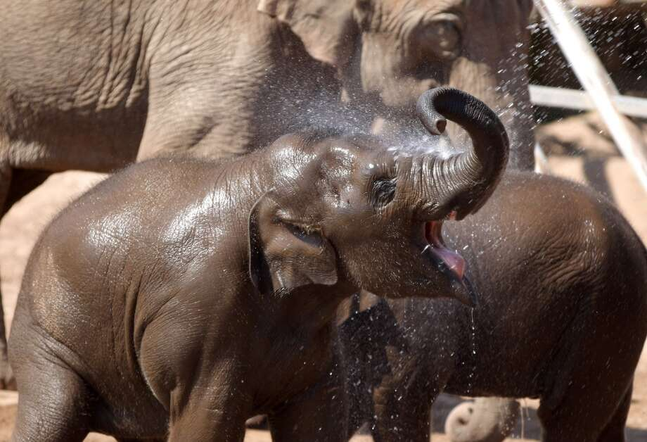 CHESTER, ENGLAND - MAY 22:  Baby elephant Nayan, aged two, gets cooled off with water by keepers at Chester Zoo on May 22, 2012 in Chester, England. As parts of Britain bask in temperatures up to 25c the herd of Indian elephants at Chester Zoo enjoyed a cool shower courtesy of the keepers and a hosepipe.  (Photo by Christopher Furlong/Getty Images) Photo: Christopher Furlong, Getty Images