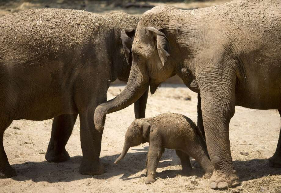 A newborn Asian elephant calf plays with its mother La Belle and grandmother La petite a few hours after it was born at the Ramat Gan safari near Tel Aviv, Israel, Friday, Aug. 2, 2013. Sagit Horowitz, the safari spokeswoman said the unnamed yet baby elephant is most likely a female. (AP Photo/Ariel Schalit) Photo: Ariel Schalit, Associated Press
