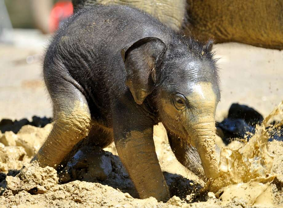 A three-week-old baby elephant plays in the mud in its compound at the zoo in Munich, southern Germany, on May 30, 2011. The baby elephant was born on last May 6, 2011.  AFP PHOTO / FRANK LEONHARDT     GERMANY OUT (Photo credit should read FRANK LEONHARDT/AFP/Getty Images) Photo: FRANK LEONHARDT, Getty
