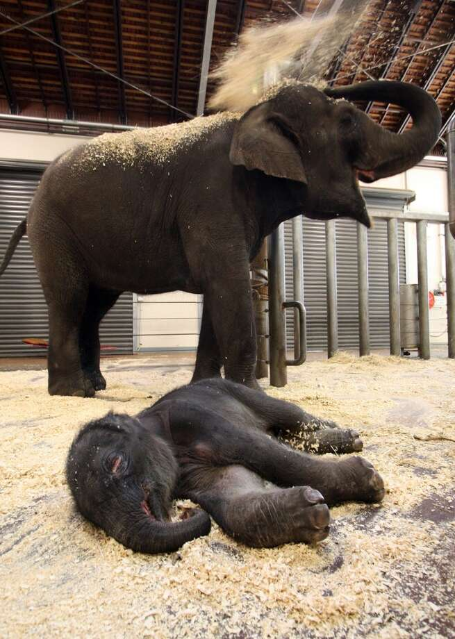 SYDNEY, AUSTRALIA - MARCH 11: Taronga Zoo's latest elephant baby, as yet unnamed, stays close to his mother Porntip after spending his first night at Taronga Zoo on March 11, 2010 in Sydney, Australia. The Asian Elephant calf has reportedly made progress overnight following a protracted labour that spanned six days. The calf was originally believed to have died in the womb during labour but surprised veterinarians and zoo staff with an unexpected delivery early yesterday morning. (Bobby-Jo Vial/Taronga Zoo via Getty Images) Photo: Handout, Getty Images