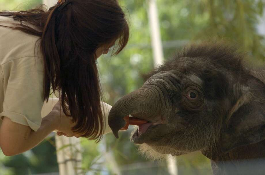 Karen Gibson, Elephant Supervisor, feeds Bella, as the Houston Zoo announced the name of their newly born baby elephant during a baby shower party for her as she was born less than a month ago, Saturday, September 11, 2004.  (Karen Warren/Houston Chronicle)     HOUCHRON CAPTION (09/12/2004):  FEEDING TIME: Elephant supervisor Karen Gibson gives Bella her bottle. The baby's mother can't produce enough milk to feed her. Photo: Karen Warren, Houston Chronicle