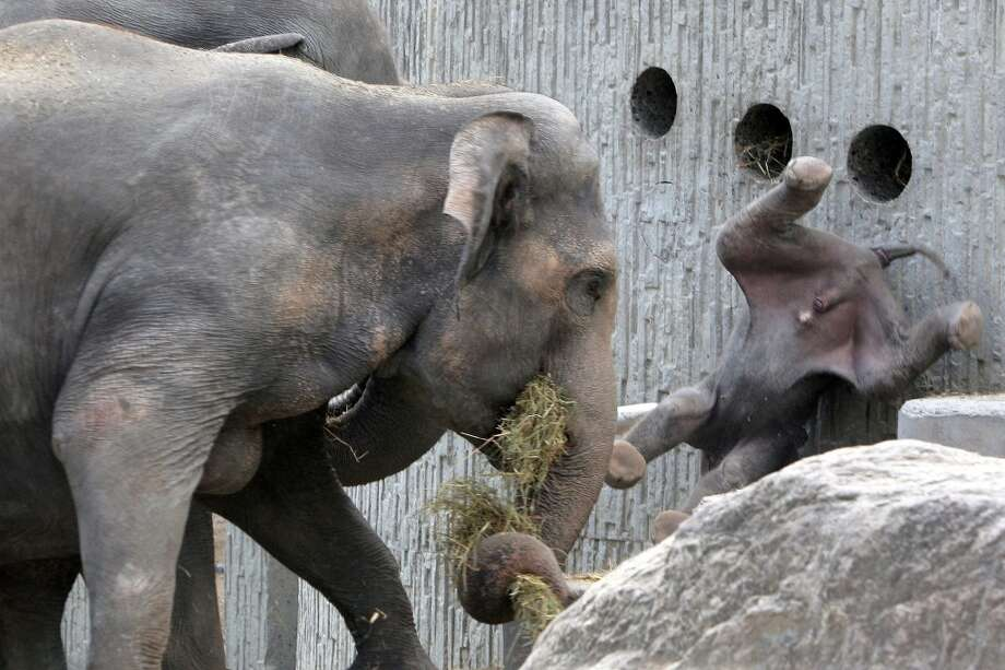 Baby elephant Fahim, right, flies through the air after being tossed by his father Maxi, hidden left, on Monday, Aug. 8, 2005 at the zoo in Zurich, Switzerland as mother elephant Indi, at left, watches the first confrontation between father and son. (AP Photo/Keystone, Alessandro Della Bella) Photo: ALESSANDRO DELLA BELLA, AP