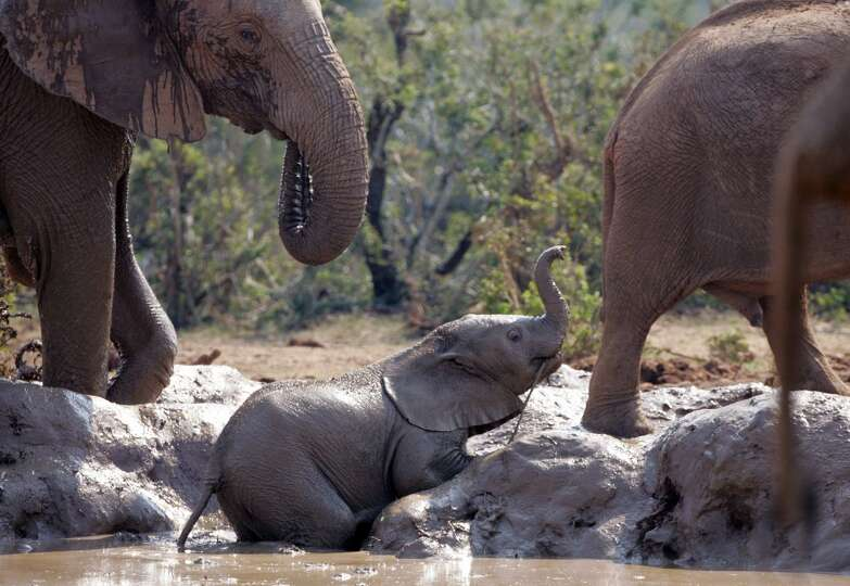 a baby elephant takes a mud bath at a water hole in the. Black Bedroom Furniture Sets. Home Design Ideas