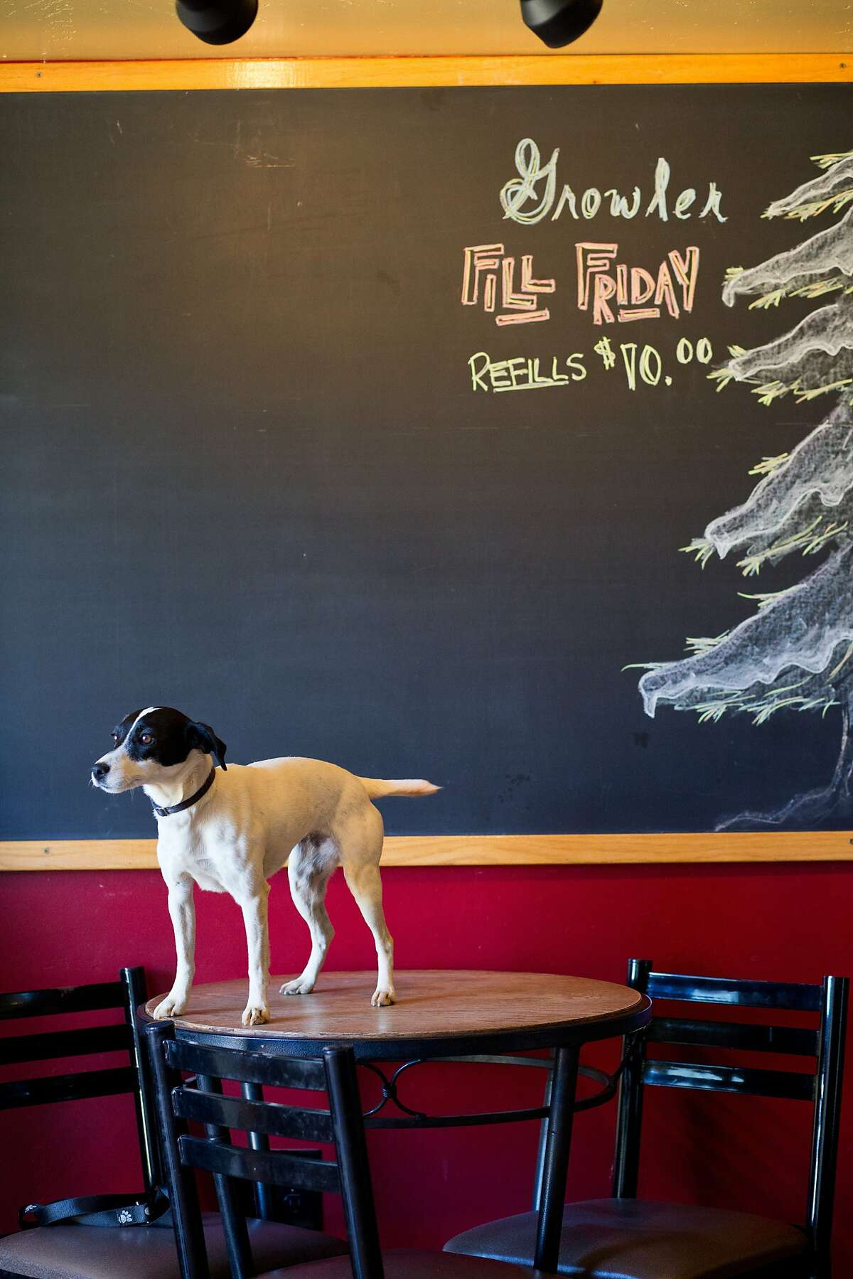 Brewmaster David Coody's dog Lucy at the Jack Russell Brewery in Camino, Calif., Saturday, February 21, 2014.