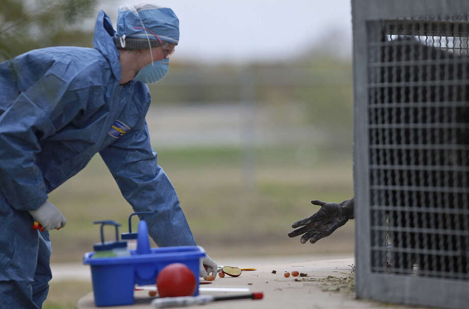 "In the wake of the criticism, the Texas Biomedical Research Institute defended the quality of care for its 2,500 primates, adding: ""Occasionally, unfortunate accidents occur."" Photo: San Antonio Express-News / File Photo / lkrantz@express-news"