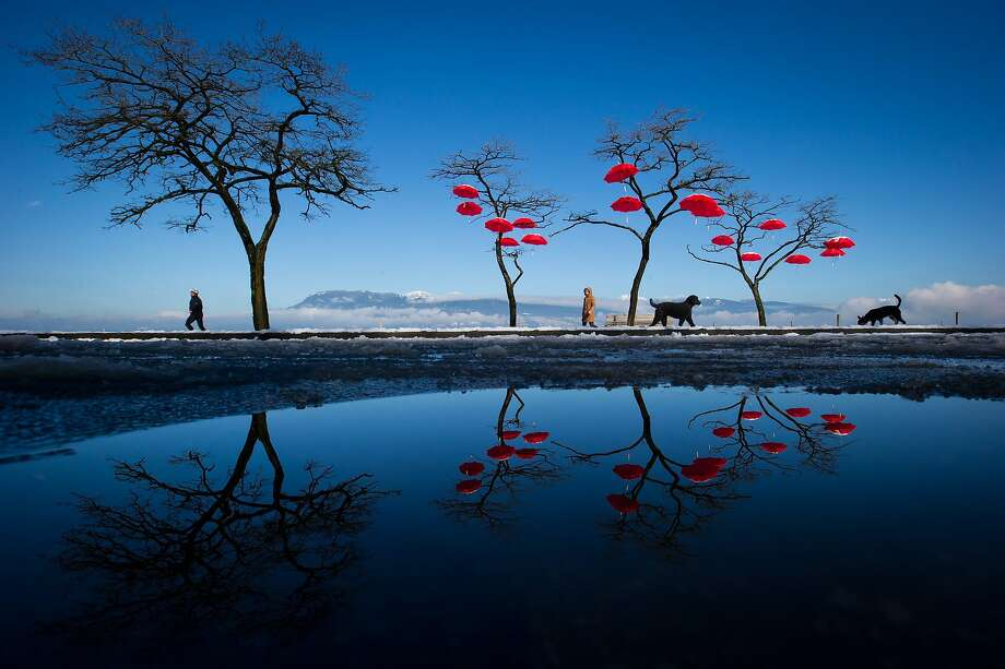 "Reflected in a puddle of melted snow, people and dogs walk past umbrellas suspended from trees at Spanish Banks Beach in Vancouver, British Columbia, on Tuesday, Feb. 25, 2014. The art installation, called the ""Rainblossom Project"", was put up by an anonymous group to be a celebration of the rain the city receives. (AP Photo/The Canadian Press, Darryl Dyck) Photo: Darryl Dyck, Associated Press"