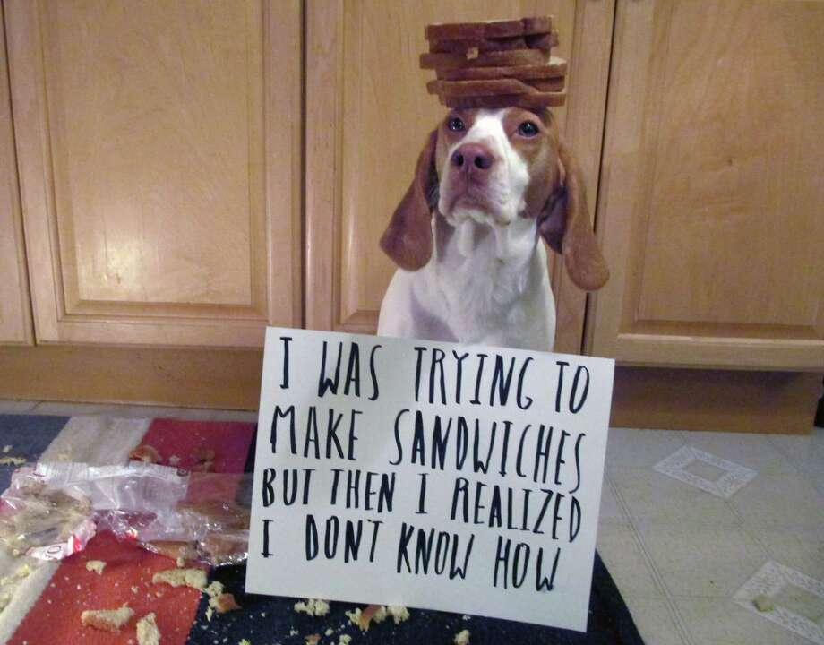 This Feb. 9, 2013 provided by Jeremy Lakaszcyck, shows Maymo a lemon beagle posing for a shame illustration in Merrimack Valley, Mass. In late 2011, Jeremy Lakaszcyck of Boston started putting shaming videos of  Maymo, on YouTube but behaviorists insist dogs lack shame. The guilty look, head cowered, ears back, eyes droopy is a reaction to the tantrum you are throwing now over the damage they did hours earlier. But scientific findings haven't put a dent in the popularity of online dog shaming sites like dogshaming.com and shameyourpet.com or videos like those posted on youtube. Photo: Jeremy Lakaszcyck, AP / Jeremy Lakaszcyck