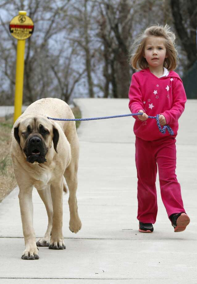 Please slow down:Five-year-old Arleigh Barto walks her puppy, Roosevelt, in Collegedale, Tenn. Or maybe it's the other way around. Photo: Dan Henry, Associated Press