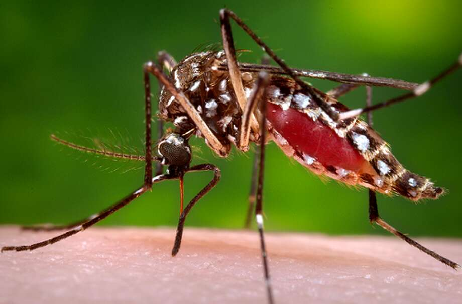 The mosquito Aedes Aegypti can carry Chikungunya and Dengue fever and is prevalent in Texas in the summer months. Photo: Center For Disease Control
