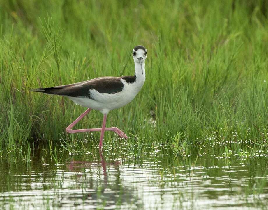 The Black-necked Stilt is 2014 FeatherFest's theme bird.