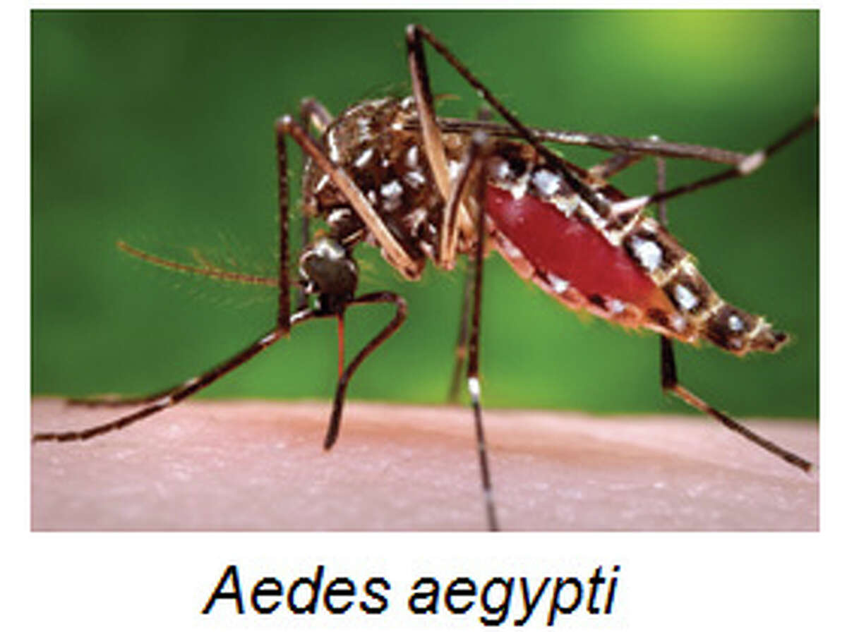 One of two mosquitoes susceptible to the virus. (UTMB)
