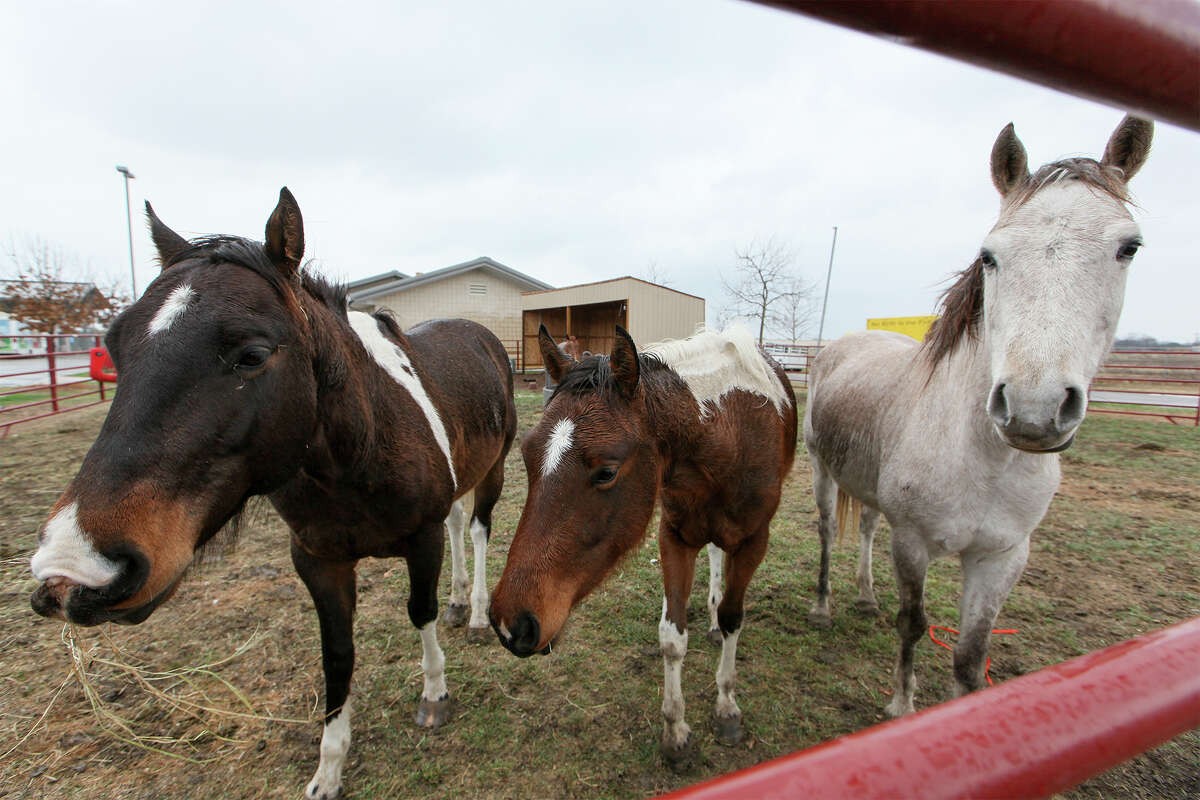 Several of the ten horses recently taken in by Animal Control Services at 4710 State Highway 151 on Wednesday, Feb. 26, 2014. MARVIN PFEIFFER/ mpfeiffer@express-news.net. Photo by Marvin Pfeiffer / EN Communities