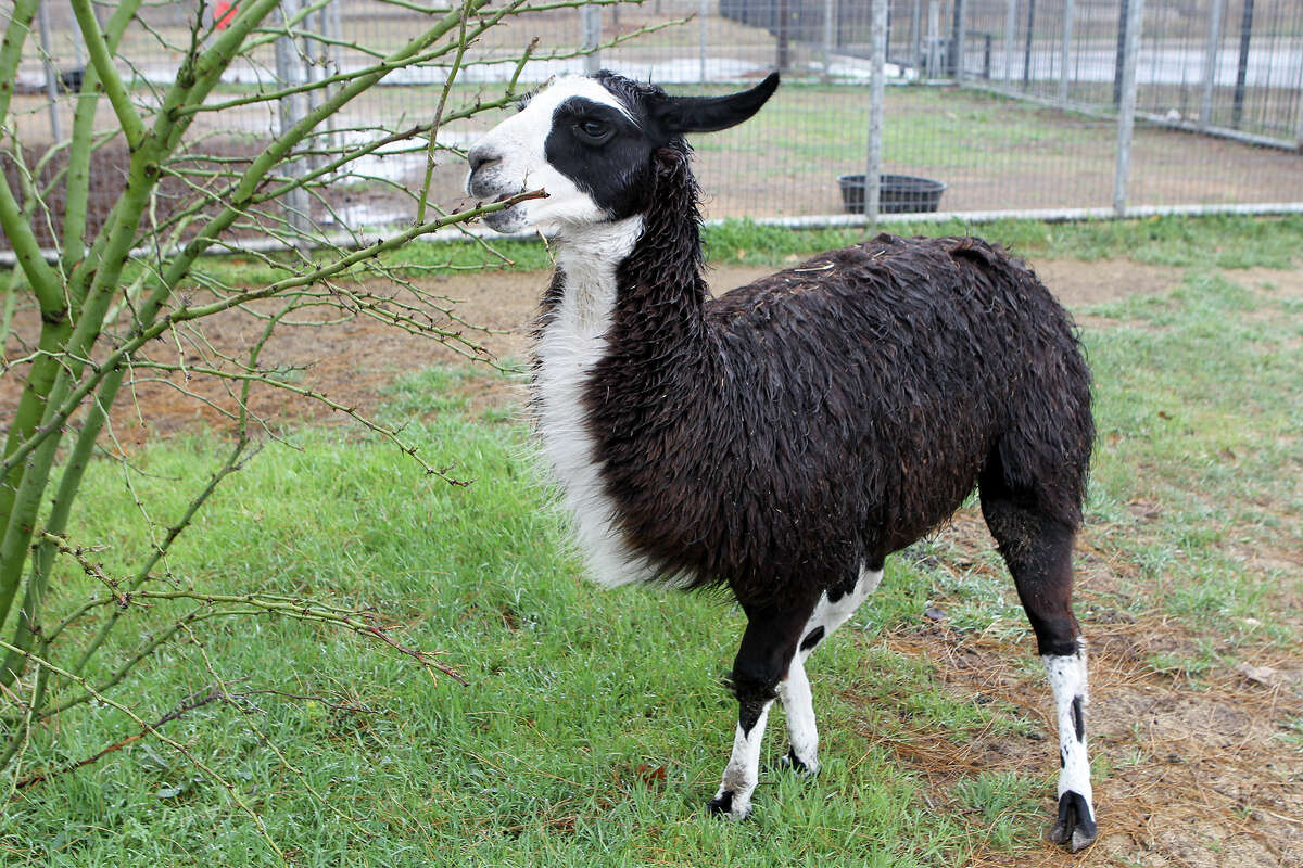 So a llama, a potbellied pig, 10 thin horses and a gang of chickens, rabbits and quails walk into the Animal Care Services headquarters at Texas 151 and Old Highway 90. ... Read the story by Vincent T. Davis on ExpressNews.com