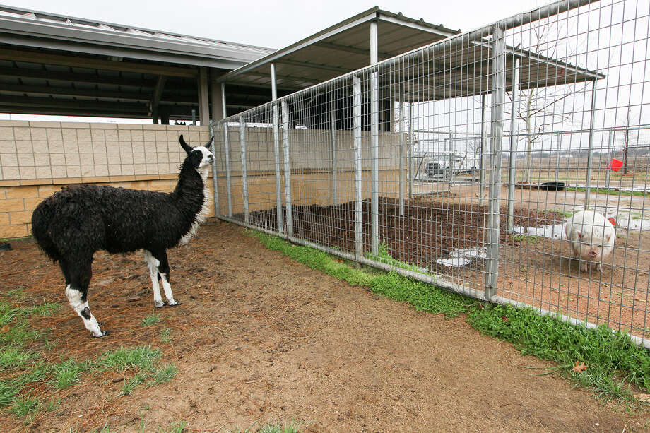 A llama and a pot-bellied pig, both recently taken in by Animal Control Services at 4710 State Highway 151 on Wednesday, Feb. 26, 2014.  MARVIN PFEIFFER/ mpfeiffer@express-news.net.  Photo by Marvin Pfeiffer / EN Communities Photo: MARVIN PFEIFFER, Marvin Pfeiffer / EN Communities / EN Communities 2014