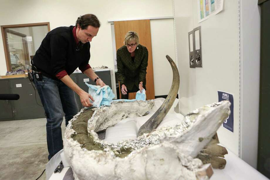 """Christian Sidor, curator of vertebrate paleontology, uncovers a fossilized mammoth tusk discovered in the South Lake Union neighborhood at the Burke Museum on Wednesday, February 26, 2014. The plaster-covered tusk will be on public display during Dino Day on March 8th. The tusk sits next to another mammoth tusk in the museum's collection. The waterlogged fossil is very fragile and can be scratched like """"a crayon with your fingernail,"""" said a statement from the museum. Photo: JOSHUA TRUJILLO, SEATTLEPI.COM / SEATTLEPI.COM"""