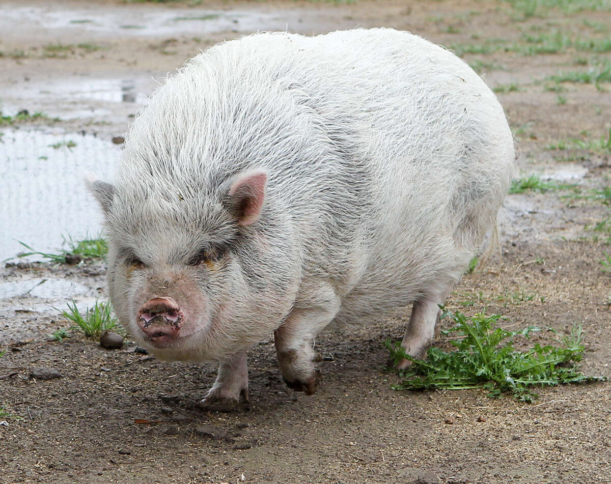 This potbellied pig has been dubbed