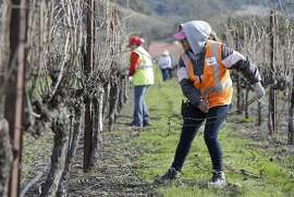 In this Thursday, Feb. 20, 2014 photo, Maria Romero competes in the first-ever women's division of the annual Napa Valley Grapegrowers' pruning competition at Beringer Vineyards' Gamble Ranch in Yountville, Calif. The decision to open up the contest to women marks a change in what used to be the nearly exclusively man's world of vineyard work. There are a lot more women to be seen working in the fields, something that accelerated after the 2008 recession swallowed up other jobs. (AP Photo/Eric Risberg)