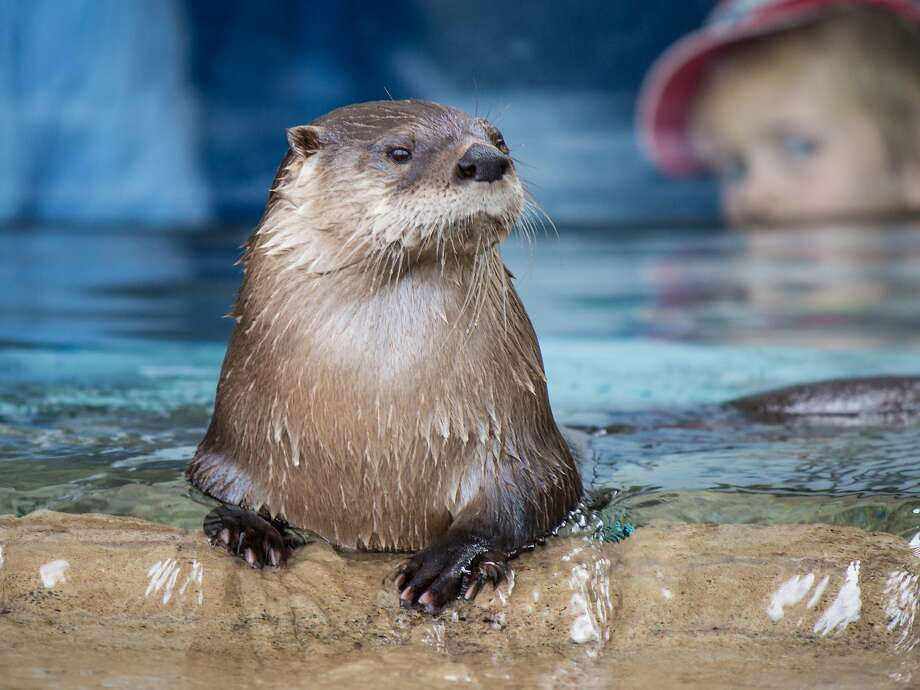I can't shake the feeling I'm being watched ... Spies are everywhere at the Otter Creek exhibit of the Texas State Aquarium in Corpus Christi. Photo: John Tedesco, San Antonio Express-News