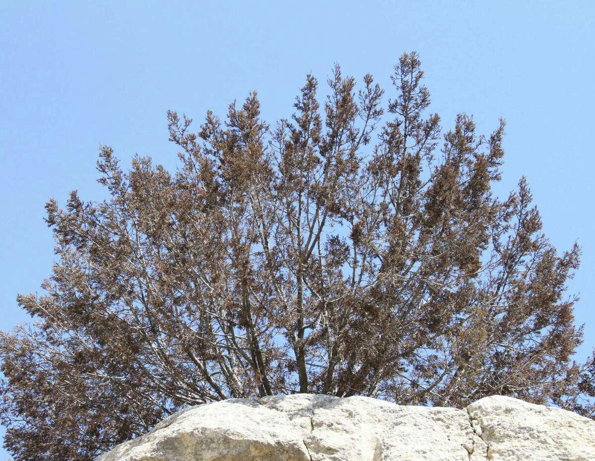 This juniper near Junction was one of countless thousands set back or killed by severe drought conditions in 2012.