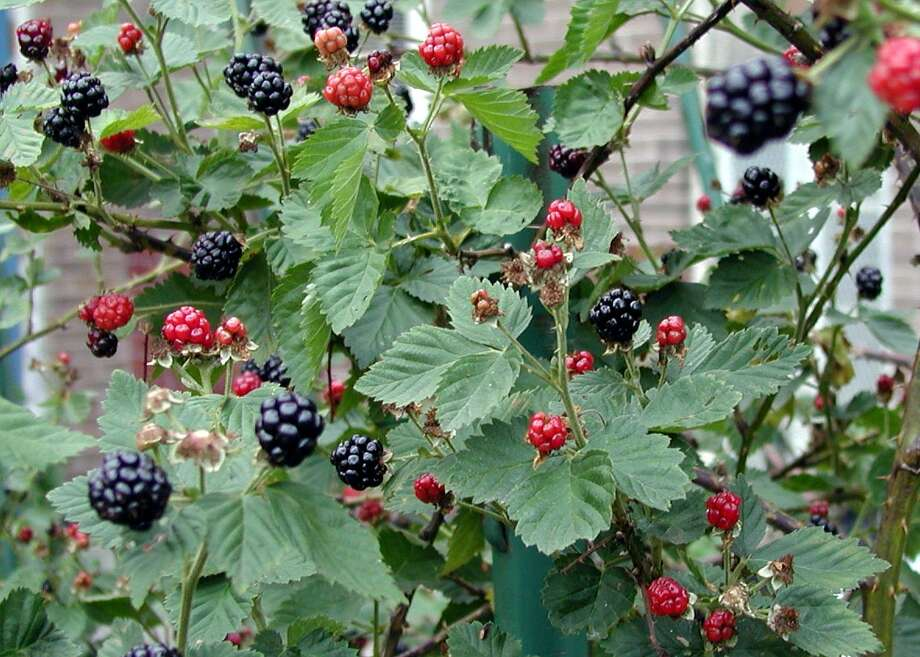 Blackberries are a juicy summer treat and the foliage provides a sure fire fall color display.