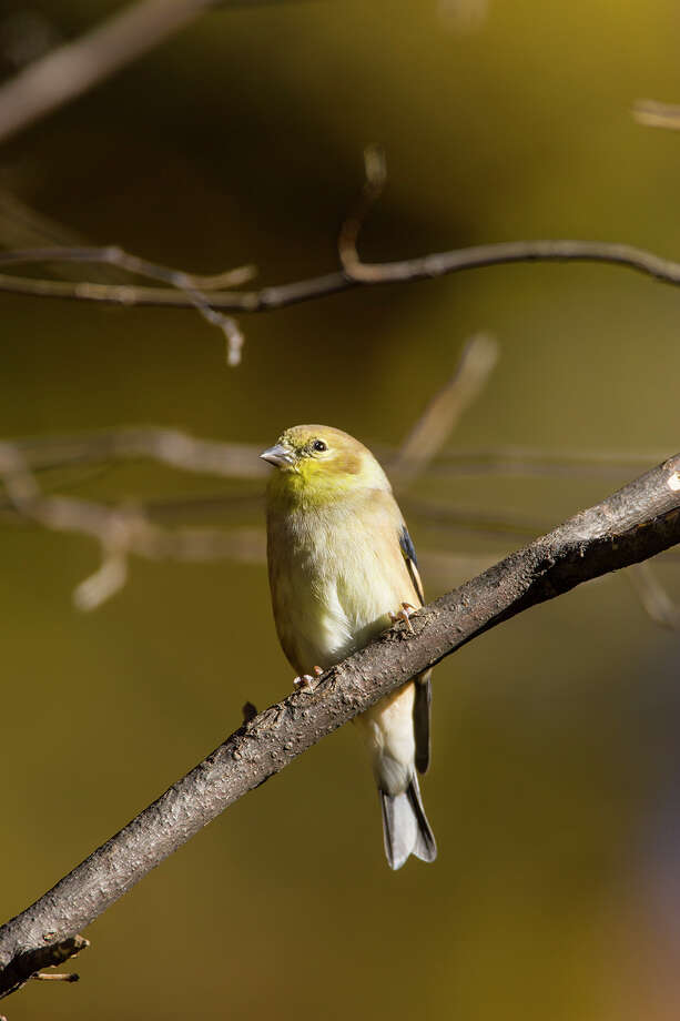 American goldfinches should be in the Houston area until mid-May. Photo: Kathy Adams Clark / Kathy Adams Clark/KAC Productions