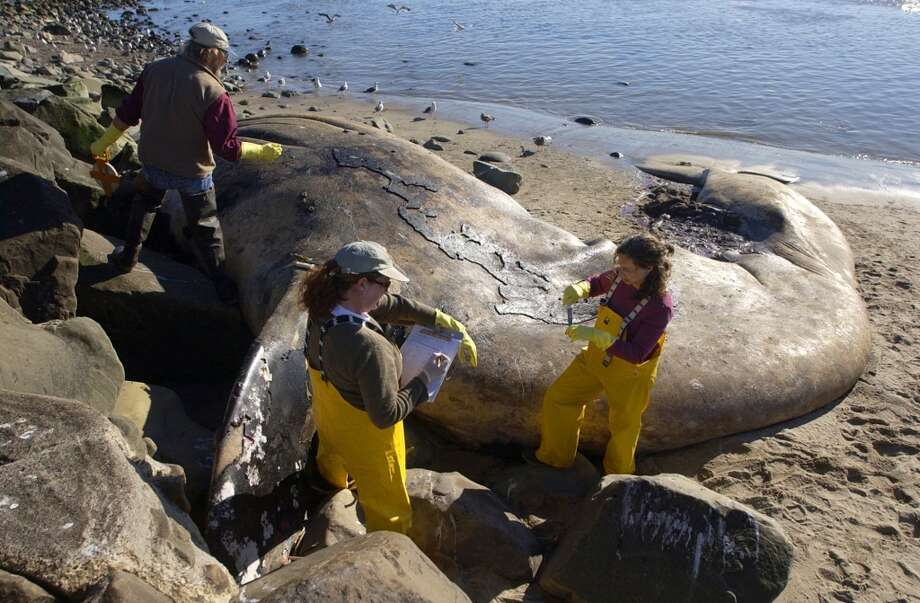 Santa Barbara Museum of Natural History Curator of Vertebrate Zoology Paul Collin, left, and Associate Curators Krista Fahy, center and Michelle Berman, right take samples from a 45 foot Gray Whale that washed ashore just north of Hobson Beach Park on the northern Ventura County line. (AP Photo/Ventura County Star, James Glover II)  ** NO MAGS, NO SALES, LA TIMES AND LA NEWS OUT MANDATORY CREDIT FOR PRINT VENTURA COUNTY STAR/ VENTURA COUNTY STAR. MANDATORY CREDIT FOR ONLINE JAMES GLOVER II / WWW.VENTURACOUNTYSTAR.COM  ** Photo: AP