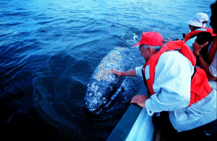 FOR SUNDAY 2/27/2000 P1: Tourists pet a gray whale in Mexico waters. San Ignacio Lagoon, tucked about halfway down the Pacific Coast of Mexico's Baja California peninsula, is the last untarnished winter refuge of the gray whale, a once-endangered mammal that journeys to these southern waters each year from Alaska to mate and give birth. But, a proposed saltworks in the whales habitat threatens the mammal and other species of plant and animal life according to some environmentalists. Photo: Arturo Fuentes/Special to Chronicle Photo: SPECIAL TO THE CHRONICLE