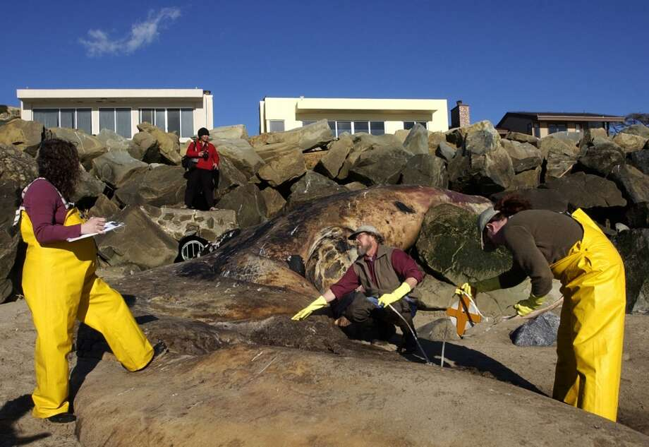 Santa Barbara Museum of Natural History Curator of Vertebrate Zoology Curator Paul Collin, center, and Associate Curators  Michelle Berman, left, and Krista Fahy, right take samples from a 45-foot Gray Whale that washed ashore just north of Hobson Beach Park in Ventura, Calif. (AP Photo/Ventura County Star, James Glover II)  ** NO MAGS, NO SALES, LA TIMES AND LA NEWS OUT MANDATORY CREDIT FOR PRINT VENTURA COUNTY STAR/ VENTURA COUNTY STAR. MANDATORY CREDIT FOR ONLINE JAMES GLOVER II / WWW.VENTURACOUNTYSTAR.COM  ** Photo: AP