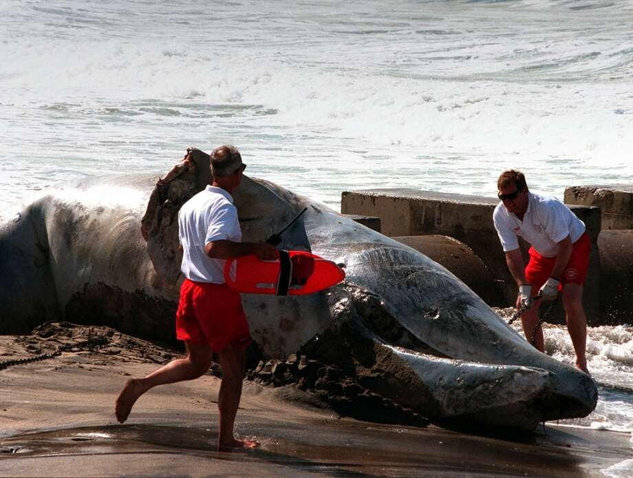 ME.Whale.1.0401.RM--LA County Fire Dept Lifeguards scramble to attach a chain to a dead one-year-old California Gray Whale. The 20 foot mammal was discovered dead yesterday on the beach at Playa Del Rey. Lifeguards speculated that the whale was possibly struck by a boat propeller. Traditionally, at this time of year the whales are making their northbound trip back to the Gulf of Alaska. More info about the death of the whale contact 213 763-3404, Dr. Henning. Thu Folder. Photo shot in Los Angeles on  4.1.99 Rick Meyer/LAT Photo/Art by:Rick Meyer.  HOUCHRON CAPTION (07/14/2002-2-STAR):   Los Angeles County lifeguards attach a chain to the carcass of a young California gray whale at Dockweiler State Beach in Playa del Rey, Calif., as they prepare to drag it to a remote stretch of beach for burial in 1999. Biologists Photo: Staff