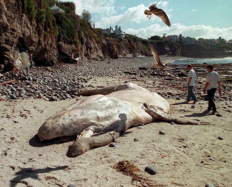FILE--Beachcombers look at a beached gray whale in Devil's Cove in the La Jolla area of San Diego in this Jan. 27, 1999 file photo. A record number of gray whales washed up on West Coast beaches this year, leaving a mystery that some biologists suspect may be due more to whale overcrowding than some sort of environmental problem. (AP Photo/Los Angeles Times, Lori Shepler, File)   HOUCHRON CAPTION (04/23/2000):  Beachcombers look at a gray whale that washed up earlier this year in Devil's Cove near San Diego. A surge in whale deaths has scientists looking for the cause. Photo: AP