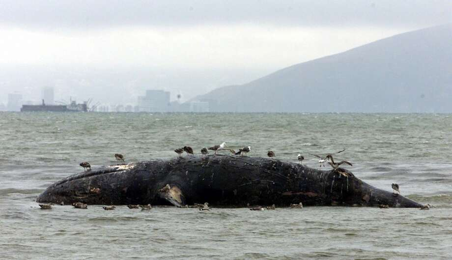 A beached California gray whale sits off Crown Memorial State Beach in Alameda, Calif., Thursday, Aug. 5, 1999 after washing ashore overnight.  The dead female whale will be towed away later during high tide.    (AP Photo/Eric Risberg) Photo: AP