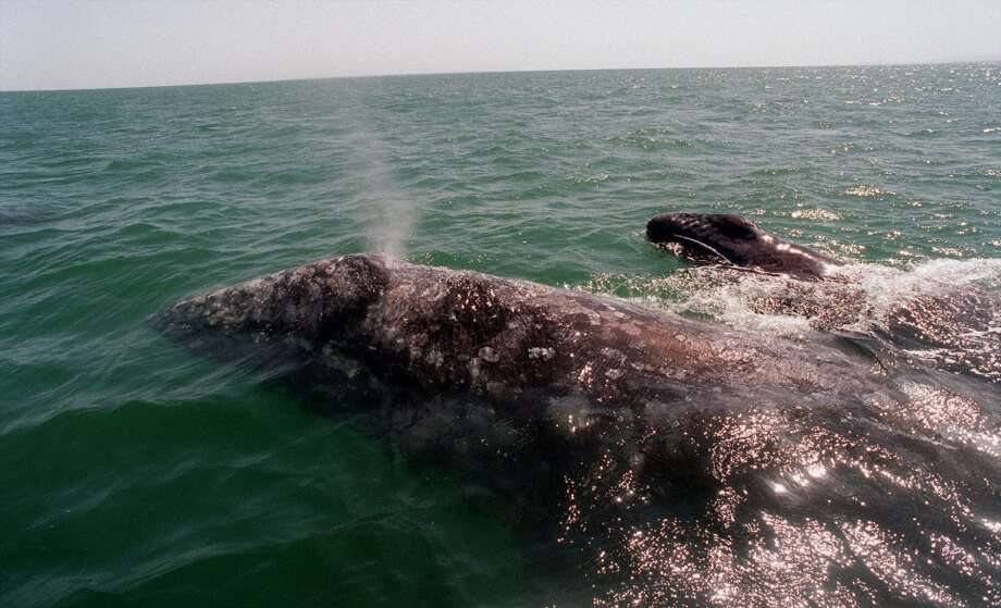 A gray whale with her baby swims in the Ojo de Liebre lagoon in Baja California Sur, Mexico, Sunday, March 14, 1999. Environmentalist said 29 whales have been found dead this year along the coasts of Sinaloa, Sonora and Baja California Sur states, while 200 sea lions died in the Gulf of California and they are blaming Exportadora de Sal, known as ESSA which they accuse of discharging brine which they say kills the whales. ESSA, said Wednesday March 17, 1999 that Mexican environmental authorities have found no reason to connect salt levels in the Pacific to the deaths of gray whales.  (AP Photo/Marco Ugarte) Photo: AP