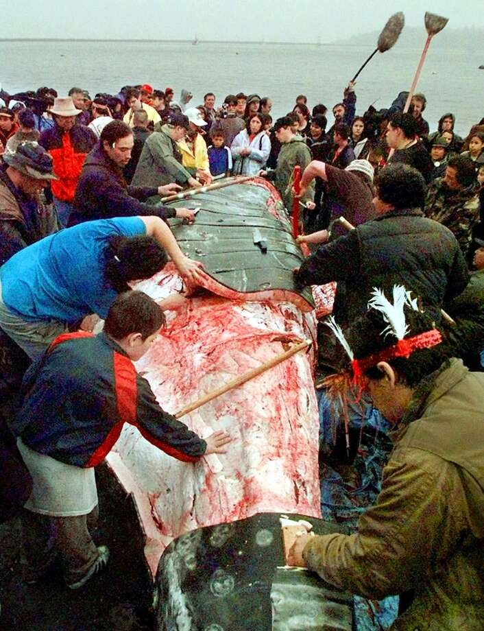 FILE--A boy reaches out to touch the carcass as Makah Indian whalers strip a gray whale of its flesh and villagers and media members gather following the tribe's first successful whale hunt in over 70 years, May 17, 1999, in Neah Bay, Wash. A month after gray whales began their 5,000-mile migration from Mexico to the Chukchi Sea off Alaska, three Makah families are preparing to set out for a hunt. It will be their first off the northwest coast of Washington since the tribe revived the ancient traditionin 1999.  (AP Photo/Elaine Thompson, File) Photo: AP