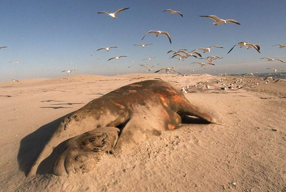 A gray whale with her baby lies dead on the beach at Ojo de Liebre in Baja California Sur, Mexico, Monday March 15, 1999.  Environmentalist charge Exportadora de Sal, known as ESSA,  a salt plant on the Baja California Peninsula  with discharging brine which has killed the animals.   ESSA, said Wednesday March 17, 1999  that Mexican environmental authorities have found no reason to connect salt levels in the Pacific to the deaths of gray whales. (AP Photo/Marco Ugarte) Photo: AP
