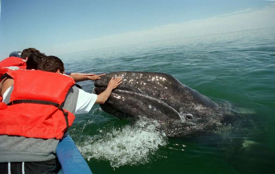 A baby gray whale emerge to be touched by tourists in Ojo de Liebre lagoon in Baja California Sur, Mexico, Sunday, March 14, 1999.  Environmentilists said 29 whales have been found dead this year along the coasts of Sinaloa, Sonora and Baja California Sur states, while 200 sea lions died in the Gulf of California. Environmentalist charge Exportadora de Sal, known as ESSA,  a salt plant on the Baja California Peninsula  with discharging brine which they say has killed the animals. (AP Photo/Marco Ugarte)  HOUCHRON CAPTION (11/12/2000):  Gray whales, which prefer to swim in shallow seas near coasts, migrate from above the Arctic Circle to Mexico's Baja California peninsula each winter. Some allow tour boat passengers to touch them or nudge skiffs with their heads, lifting them gently from the sea and lowering them again . Photo: AP