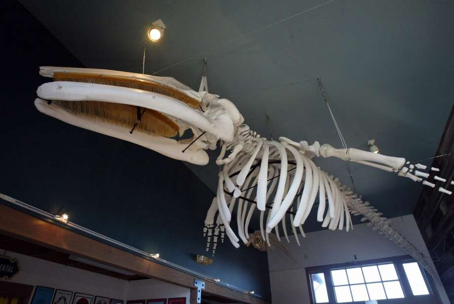 The preserved bones of Rosie, a 33-foot gray whale that washed ashore in 1998, are on display at the Coupeville Wharf and Warehouse in Coupeville, Washington. (Greg Gilbert/Seattle Times/MCT) Photo: MCT