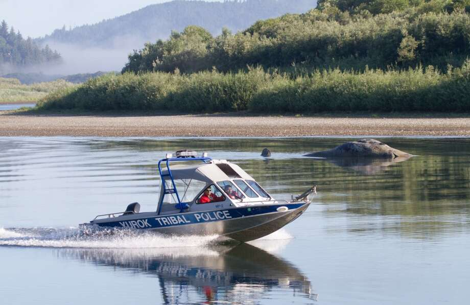 A Yurok Tribal Police boat makes its way past Mama, the Klamath River whale, right, shown dead in Klamath, Calif., Tuesday Aug. 16, 2011. The 45-foot gray whale that's been delighting people for more than a month since taking up residence in Northern California's Klamath River has died after beaching itself on a sandbar. The female whale died around 4 a.m. Tuesday morning. (AP Photo/Ashala Tylor) Photo: Associated Press