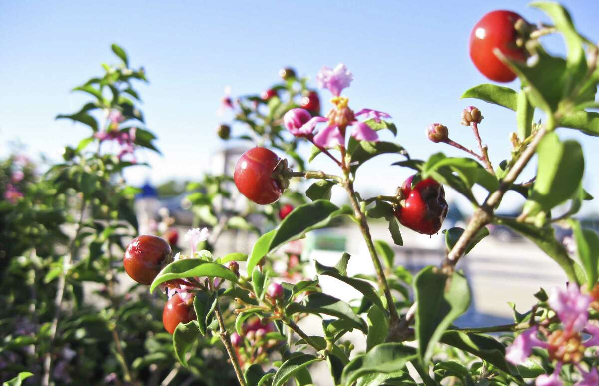 Barbados cherry is among the large plants included in the shade choices for the SAWS landscape coupon for spring.
