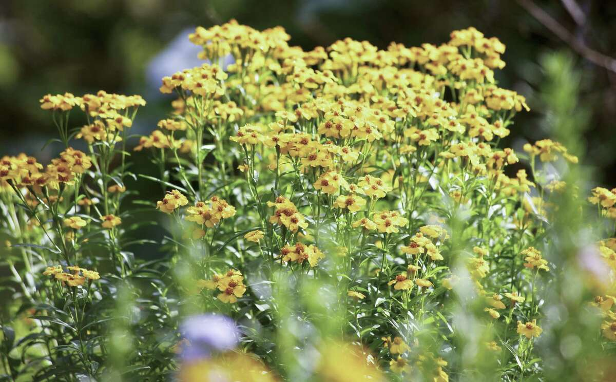 Customers can choose Mexican mint marigold as a small plant in the sun category.