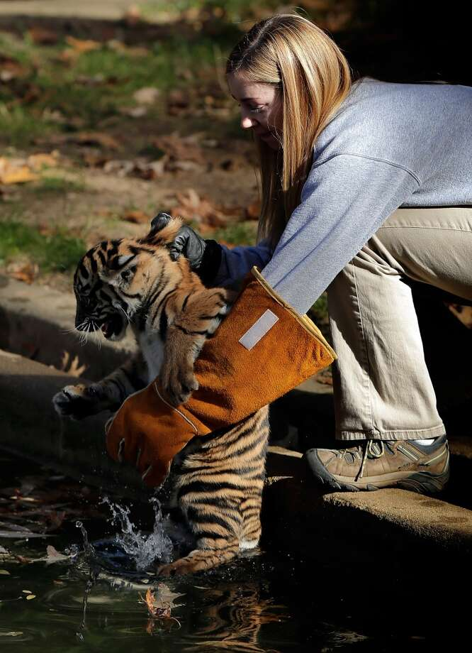 """WASHINGTON, DC - NOVEMBER 06:  A female Sumatran Tiger cub named Sukacita is placed into a moat by biologist Leigh Pitsko (R) before the cub performed her """"swim test"""" at the Great Cats exhibit of the National Zoo November 6, 2013 in Washington, DC. Sukacita is one of two Sumatran Tigers born August 5, 2013 and before going on exhibit they must pass the swim test. The cubs must be able to keep their heads above water, navigate the shallow end of the moat, and have the strength and agility to climb onto dry land on their own.  (Photo by Win McNamee/Getty Images) Photo: Win McNamee, Getty Images"""