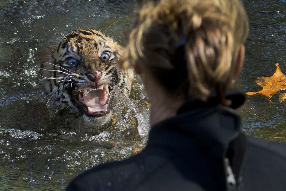 "AP10ThingsToSee - A three-month-old Sumatran tiger cub named ""Bandar"" reacts after being dunked in the tiger exhibit moat for a swimming test at the National Zoo in Washington, Wednesday, Nov. 6, 2013. All cubs born at the zoo must take a swim test before being allowed to roam in the exhibit. Bandar passed his test. (AP Photo/Manuel Balce Ceneta, File) Photo: Manuel Balce Ceneta, Associated Press"